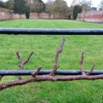 Espalier Trees in Summer After Pruning