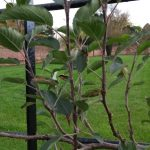 Espalier Trees in Summer Before Pruning