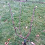 Goblet Shaped Free Standing Fruit Trees