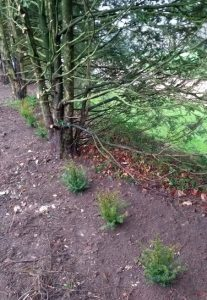 Planted Yews