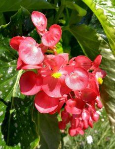 Begonia 'Comte dear Lesseps'