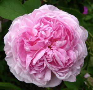 Rose at Deene Park