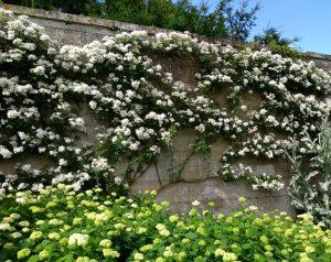Wall Roses at Deene Park